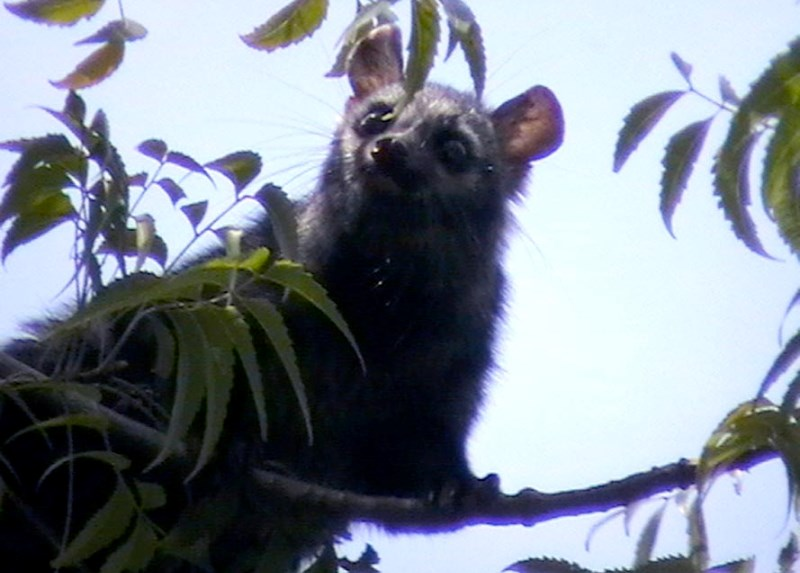 Common Palm Civet at JNU