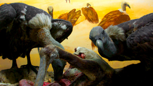 Why Vultures Matter? Part I