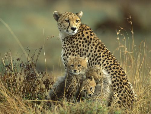 Preparing to Reintroduce the Cheetah in India