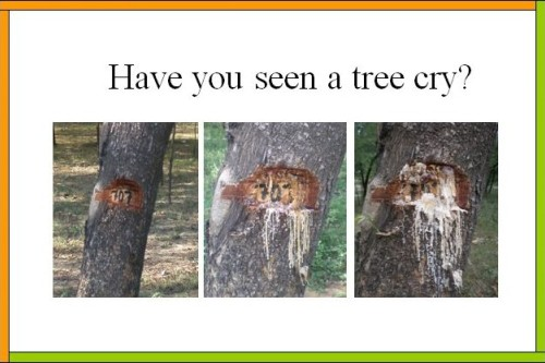 Have you seen a tree cry?