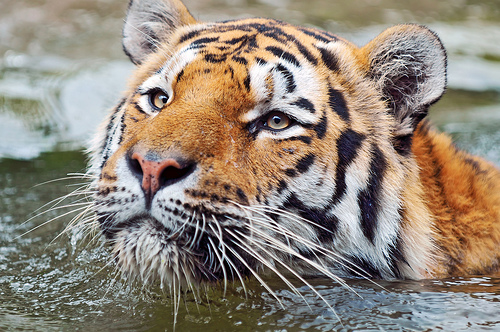 Tiger Range Countries Come Together for Restoring Tiger Populations in the Wild