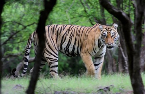 Eight New Tiger Reserves To Boost Tiger Conservation Measures in India