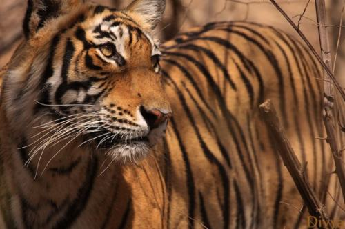 Applications Invited for Tiger Watch Conservation Leadership Program 2013