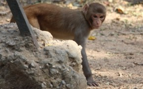 Monkeys in North Delhi Ridge Continue to Create Menace