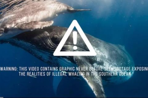 Sea Shepherd Releases Suppressed Australian Govt Whaling Footage