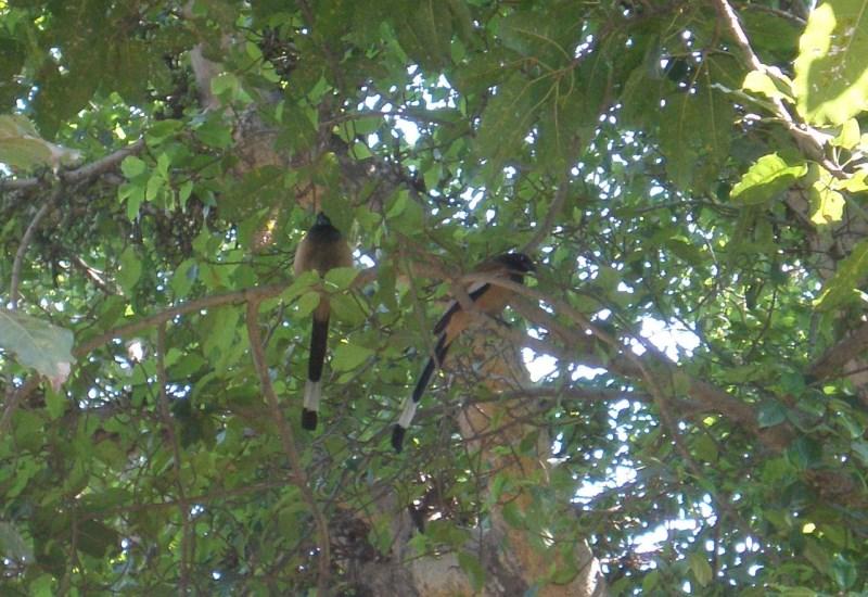 Rofous Treepie in the City