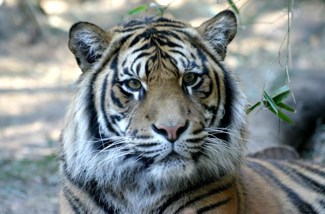 Tribal Rights, Forest Dwellers and the Tiger