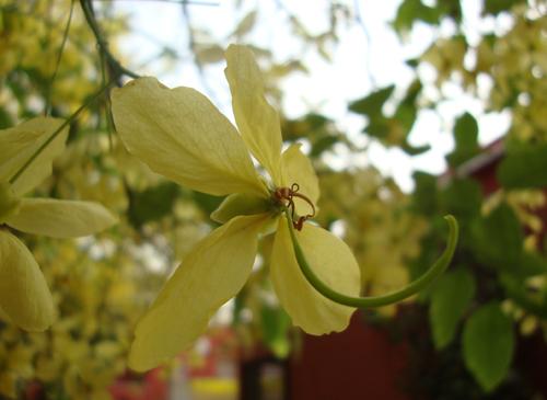 Amaltas Flowrers in full bloom