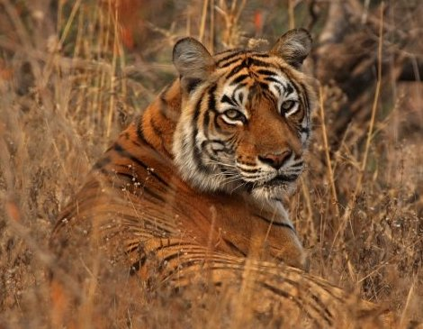Tiger Tiger…Dimming Out