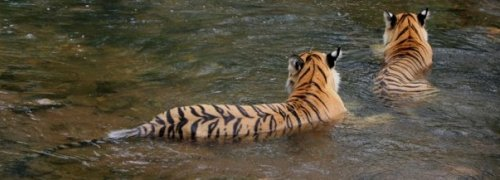Two Tigers in Ranthambore
