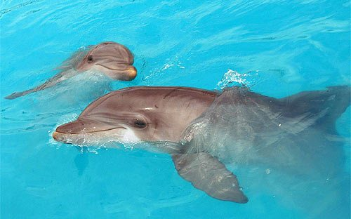Dolphin Declared the National Aquatic Animal of India