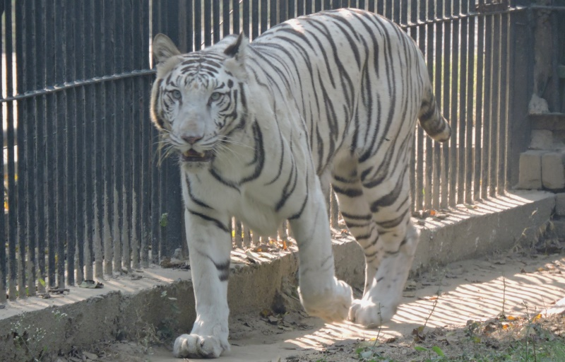 Delhi Zoo's White Tiger Continues to Be the Star Attraction