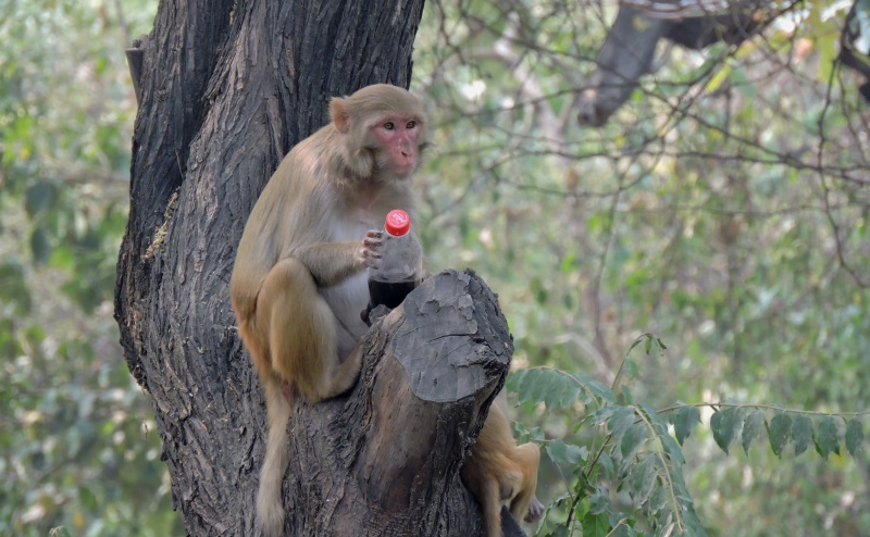 To Beat the Heat, A Monkey Grabs Cola Bottle In Delhi Ridge