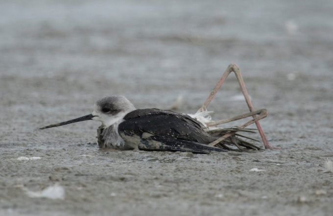 Unresolved Mystery of Avian Mortality in Sambhar Lake, Rajasthan