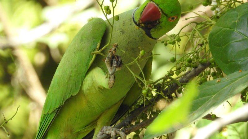 Ehretia Tree and the Birds of Delhi