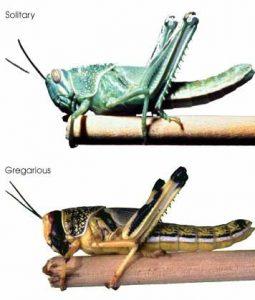 locust swarm versus solitary